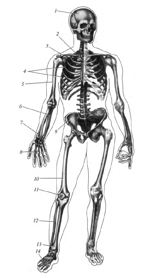a metatarsális csontok ízületei